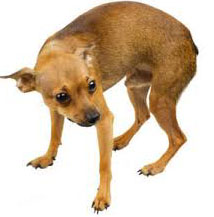 боль у собаки