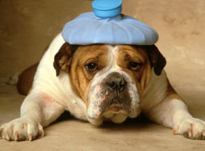 У собаки болит голова