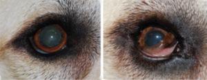 синдром Хорнера у собаки
